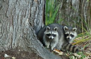 A Pair of Raccoons