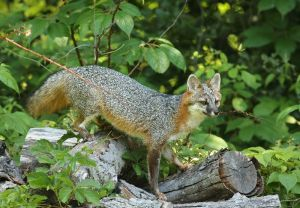 Gray Fox Searching for Breakfast