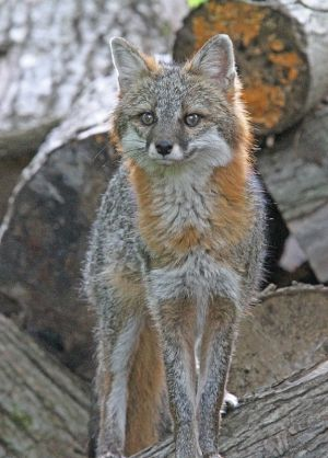 Adult Gray Fox