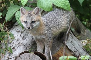 Gray Fox Kit In The Wood Pile