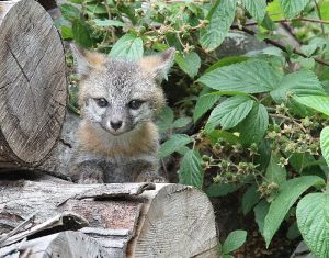 Shy Gray Fox Kit