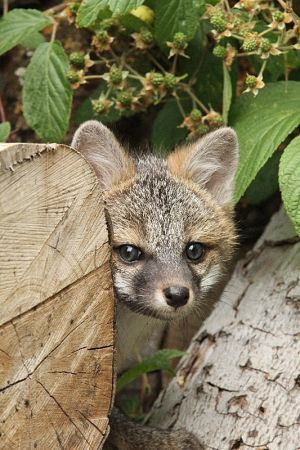 Gray Fox Hide an Seek