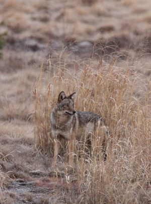 Coyote Standing in High Grass
